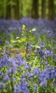 Bluebells-Ashridge-3