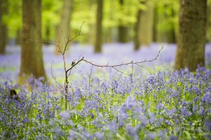 Bluebells-Ashridge-6