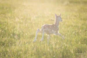 Fawns-5