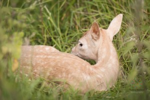 Fawns-8