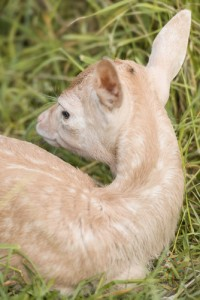 Fawns-9